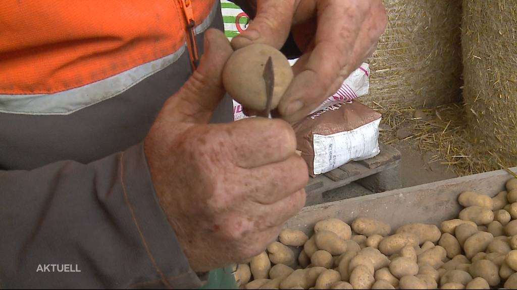 Aargauer Bauer bleibt auf 45 Tonnen Bio-Kartoffeln sitzen