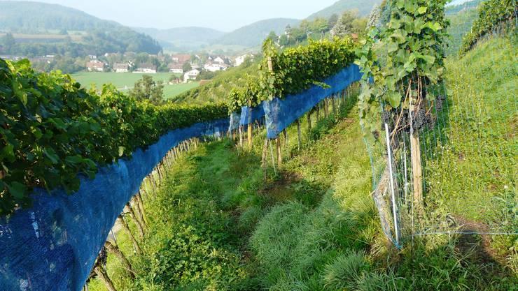 Neue Netze wie hier in Remigen gefährden die Tiere nicht und schützen die Trauben besser.  Hans Lüthi