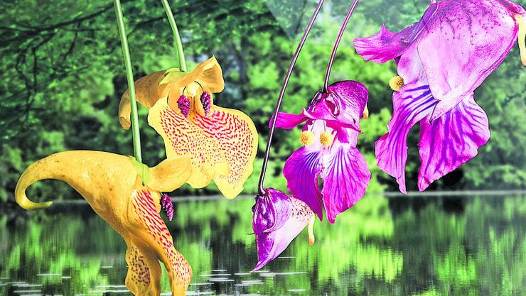 Dieses Bild trägt den Namen: «Zwei goldgelbe Gondel-Zauberblumen begegnen einer jungen Familie von rosa-violetten Gondel-Zauberblumen, Cousins zweiten Grades».