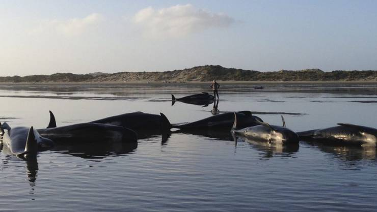 Immer wieder stranden Wale - die Behörden erhoffen sich von einer Untersuchung auch Informationen über das Ökosystem, in dem die Wale leben. (Archiv)