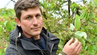 Gemüsebauer Roman Grob muss nach dem Aprilfrost um seine Kirschernte bangen.
