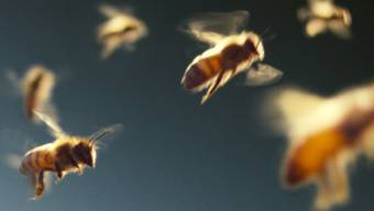 Besser als künstlich bei Pixar: Die Bienen in Markus Imhoofs Film «More Than Honey»