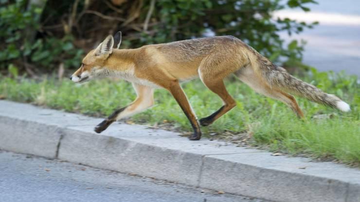 Vor allem im Frühling sind viele Wildtiere unterwegs.