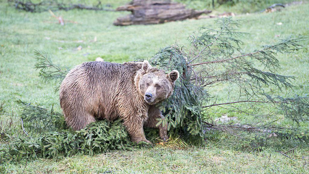 Ein Artgenosse des im Oberwallis gesichteten und gefilmten Bären, aufgenommen in einem Tierpark. (Themenbild)