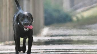 Ein schwarzer Labrador war der edle Spender (Symbolbild)