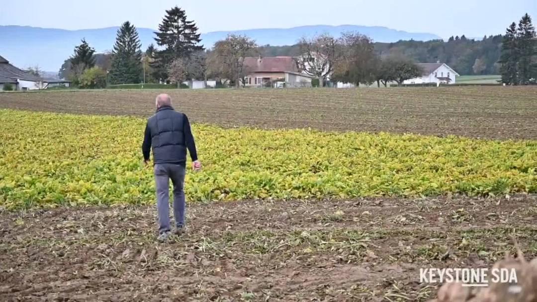 Schlechtes Jahr für Zuckerrübenbauern