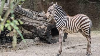 Nachwuchs bei den Zebras im Basler Zoo