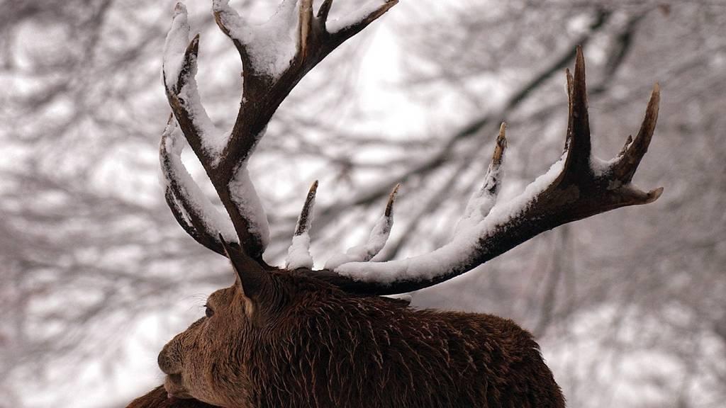 Dank der Jagd kann die Population kontrolliert werden.
