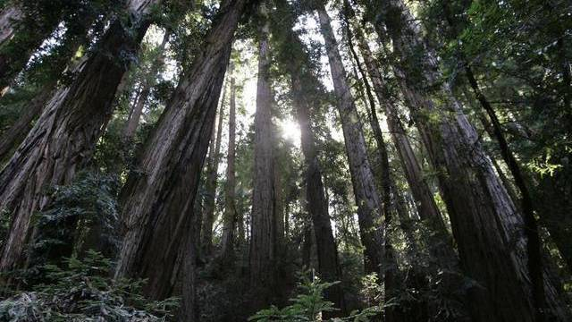 Besonders grosse und alte Bäume sind laut der Studie bedroht (Symbolbild)
