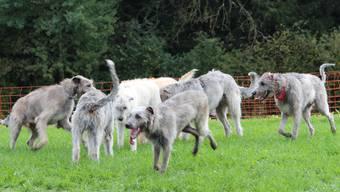 Treffen der Wolfshunde in Aeschi