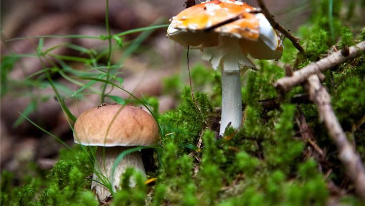 Die Saison bekommt den Sammlern eher wie ein giftiger Fliegenpilz (r.) denn ein köstlicher Steinpilz (l.). KEYSTONE/Balzarini