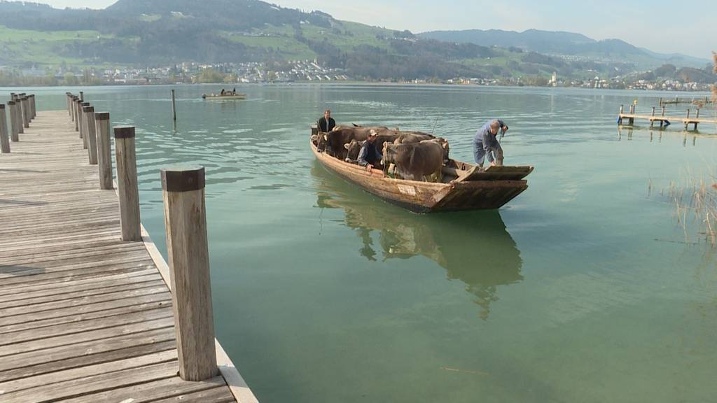 Mit Kühen auf dem Zürichsee
