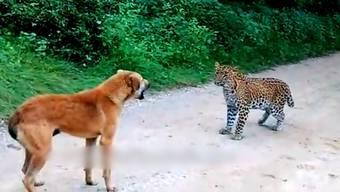 Touristen auf Safari beobachteten, wie ein Strassenhund einen Leoparden in die Flucht schlägt.