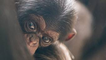 Neue Schimpansen im Basler Zoo, Zolli
