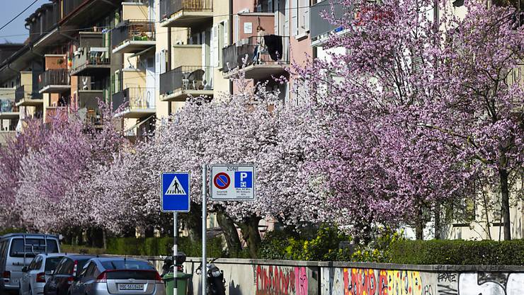 Blühende wilde Kirschbäume am 20. März an einer Quartierstrasse in Bern. (Archivbild)