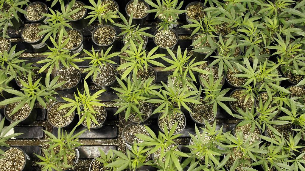 Schweizer wollen Cannabis-Verbot aufheben