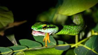 Eine Papageienschlange hat einen Frosch im Maul.