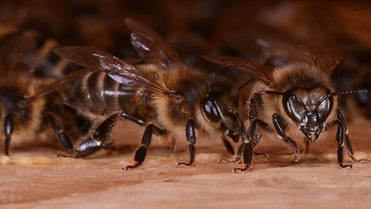 Diese Bienen haben den Winter gesund überstanden und arbeiten für Bestäubung und Honigernte.