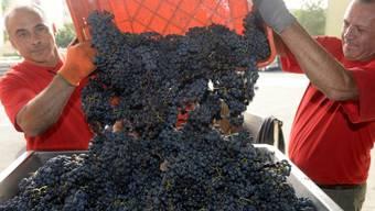 Zwar ist die Weinernte im Wallis mengenmässig unterdurchschnittlich ausgefallen. Die Qualität der Tropfen ist dafür ausgezeichnet (Archivbild).