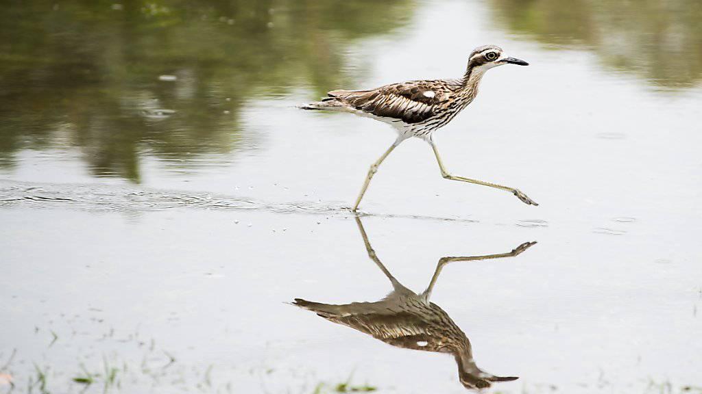 Wasservögel liegen Wasser, aber derzeit sorgen sintflutartige Regenfälle für Chaos im Nordosten Australiens. Der Daintree River stieg beispielsweise auf ein historisches Hoch von 12,60 Meter - den höchsten Stand seit 118 Jahren. (Symbolbild)