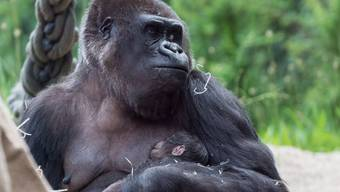 Mögen Menschen als Beschäftigung: Gorillababy, Zoo Basel