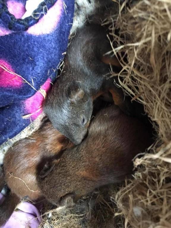 Gerettete Eichhörnchen-Babys
