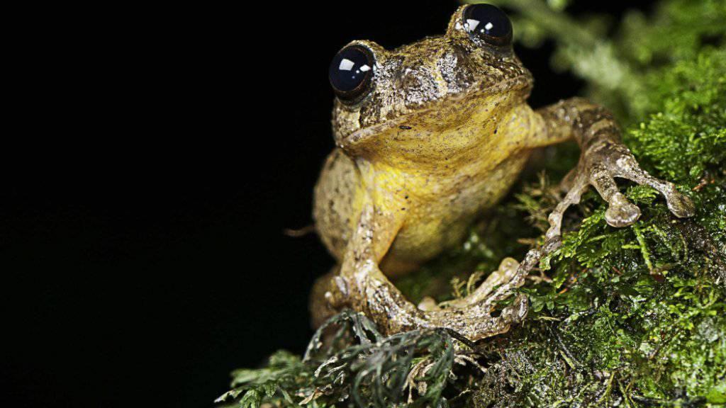 Der Baumfrosch wurde zum ersten Mal 1870 entdeckt. Danach bekam ihn 137 Jahre lang kein Wissenschaftler mehr zu Gesicht.