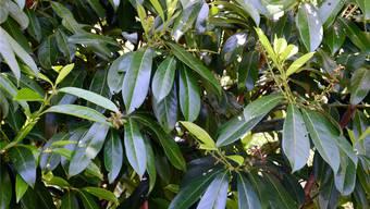 Der immergrüne Kirschlorbeer verdrängt einheimische Arten, wird aber immer noch verkauft.
