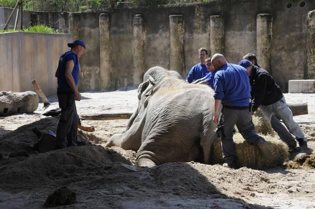Nach dem Sturz konnte die Elefantenkuh nicht mehr alleine aufstehen.