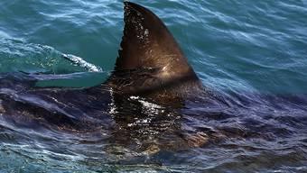 Der mutmassliche Hai hatte laut Angaben eines der Bissopfer eine Grösse zwischen 90 und 120 Zentimeter. (Symbolbild)