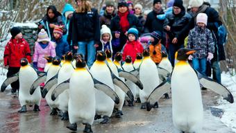 Die Pinguine freuen sich ob den kalten Temperaturen.