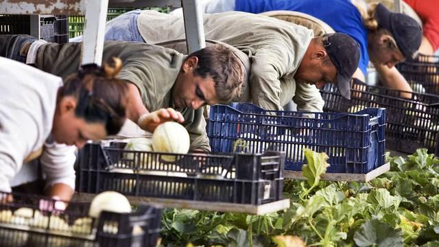Feldarbeiter liegen auf einer Erntemaschine und pflücken auf einer Plantage im Kanton Aargau reife Melonen (Symbolbild)