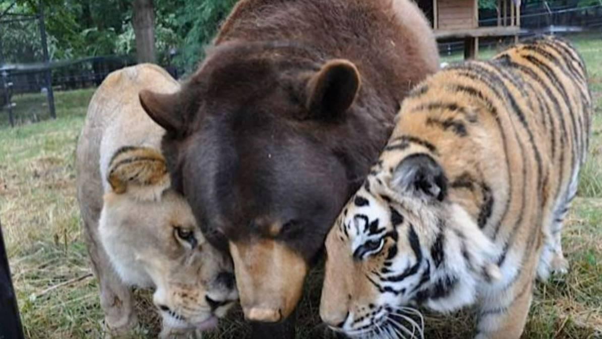 Bär, Tiger und Löwe - ein starkes Gespann.