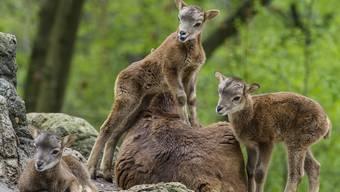 So süss sind die Mufflon-Babys im Basler Zolli