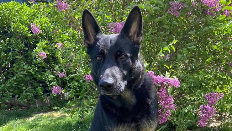 Polizeihund Basco spürte zwei Einbrecher auf.