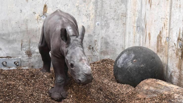 Das neugeborene Nashornbaby Ushindi hatte noch keine Besucher.