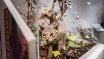 «Die Katze, Unser wildes Haustier.» - Sonderausstellung im Naturmuseum