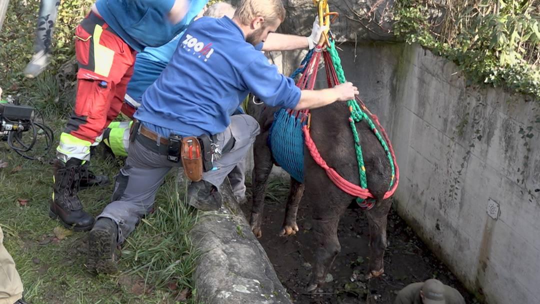 Tapir büxt aus und fällt in Bärengraben