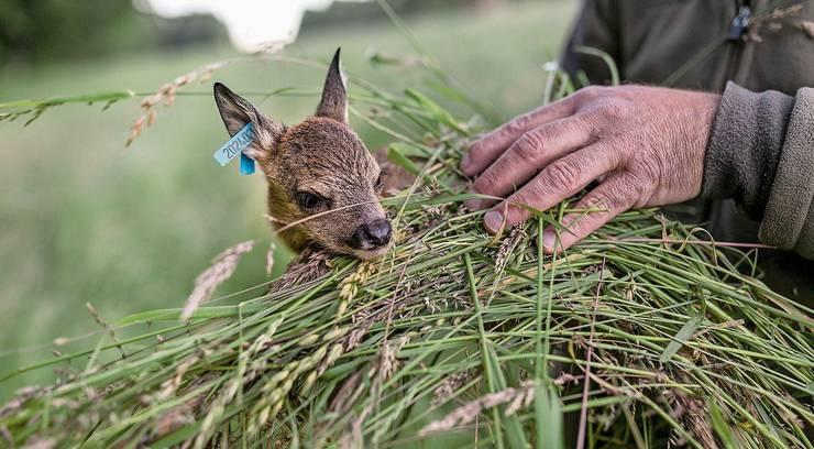 Das Rehkitz muss mit Gras angefasst werden, damit es nicht nach Mensch riecht. Jagdaufseher Roli Koch (Mitte) und seine Helfer beim Drohneneinsatz.