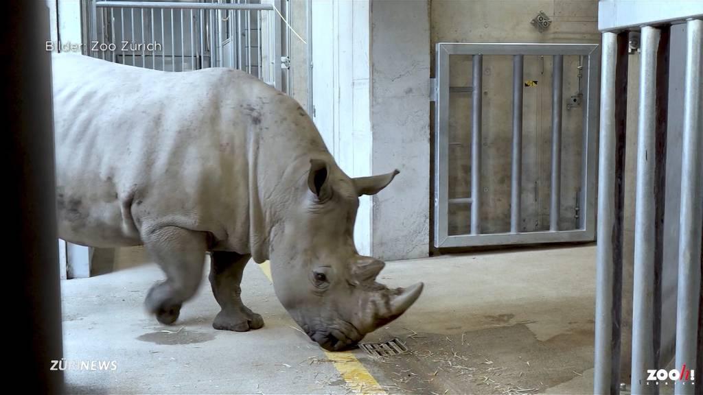 Hoffnung auf Nashornnachwuchs im Zoo Zürich: Kimba ist angekommen!