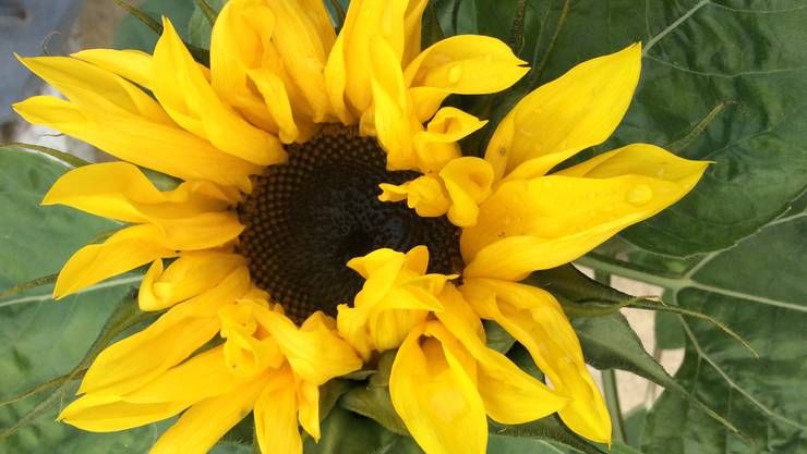 Blühende Sonnenblume am 03. November 2018