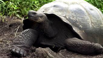 Riesenschildkröten mit einem runden Panzer können sich leichter wieder aufrichten, wenn sie auf den Rücken fallen. (Archiv)