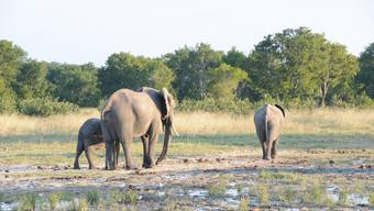 Ein junger Elefant Beim Unglücks-Elefanten handelt es sich um jenen, der mit de linken hinteren Bein humpelt.