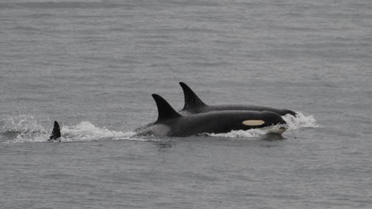 Lebt wieder auf: Die Orca-Mutter (vorne) schwimmt und jagt wieder mit ihren Artgenossen.