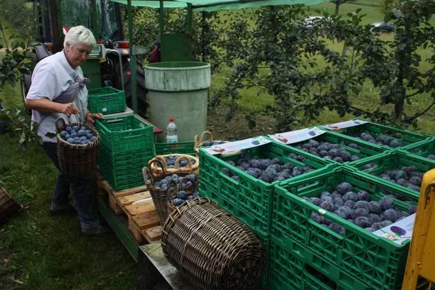 Pro Tag werden auf dem Hof in Ramlinsburg bis zu 2000 Kilo Zwetschgen geerntet