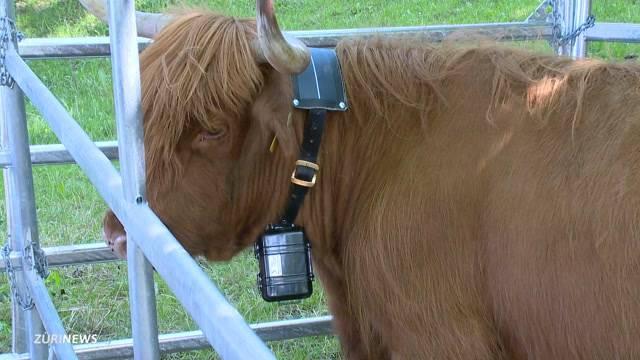 GPS-Sender sollen Kuhglocken ersetzen