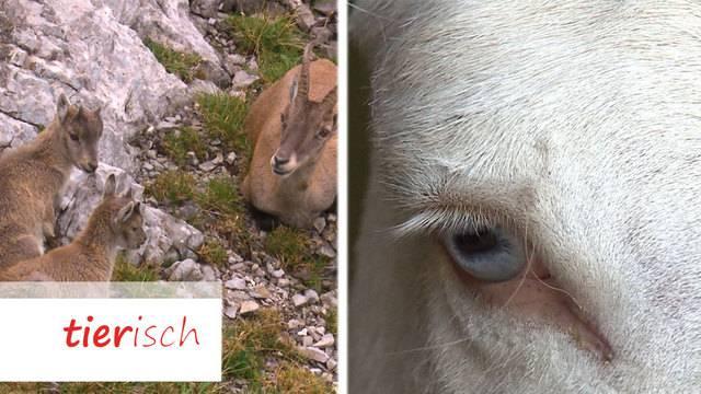 Steinbock Safari / Barockesel
