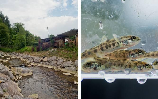 Der Etzgerbach bietet nun ideale Bedingungen für den Lachs. Rund 2700 Jungfische wurden eingesetzt.