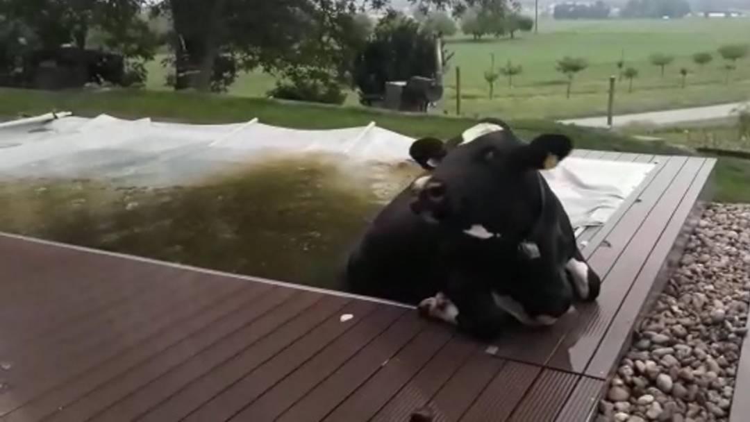 Hoppla – da schwimmt eine Kuh im Pool