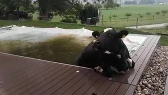 Badewetter war am Dienstag ja nun wirklich nicht, diese Kuh landete aber auch unfreiwillig im abgedeckten Pool.